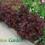 Heuchera micrantha - Plante amenajari gradini