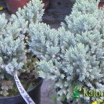 Juniperus sq. Blue Star - Plante amenajari gradini