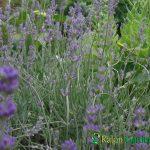 Lavandula angustifolia - Plante amenajari gradini
