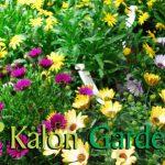 Osteospernum - Plante amenajari gradini