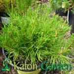 Pinus mugo var. pumilio - Plante amenajari gradini