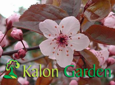 Prunus cerasifera Nigra - Plante amenajari gradini