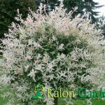 Salix integra Hakuro Nishiki-Plante amenajari gradini