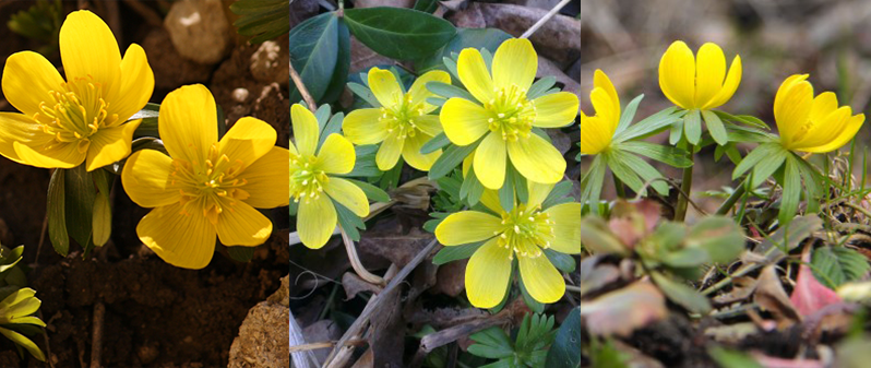 aconit de iarna flori de primavara