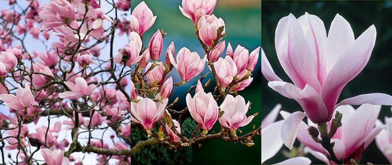 floarea magnolia