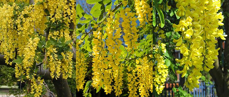 flori de salcam galben